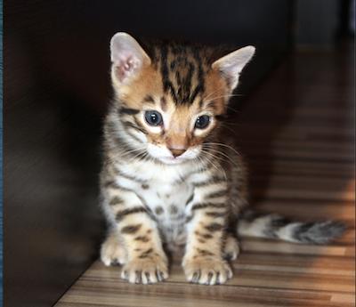 how-to-litter-train-a-kitten
