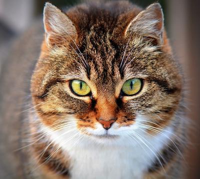 overweight-older-cat