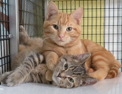 help-cats-in-shelters