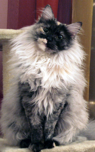 cat-with-long-fur-going-to-groomer
