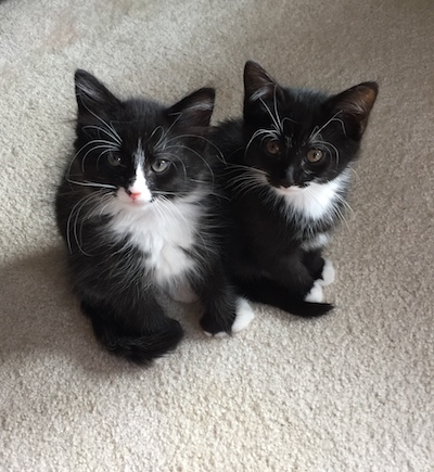 2-black-and-white-foster-kitten-siblings